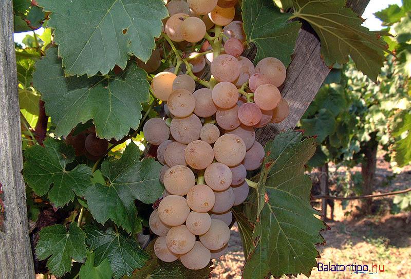 Egy fürt Bakonyi Károly legnevesebb szőlőjéből, a cserszegi fűszeresből