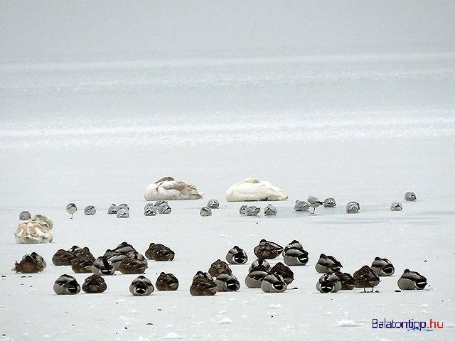 Szunyokalo-madarak-jegen-Keszthely-balatontipp-gyorffya