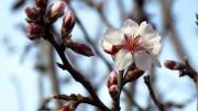 Virágzó mandulafa a Hegyestű oldalában - fotó Győrffy Árpád