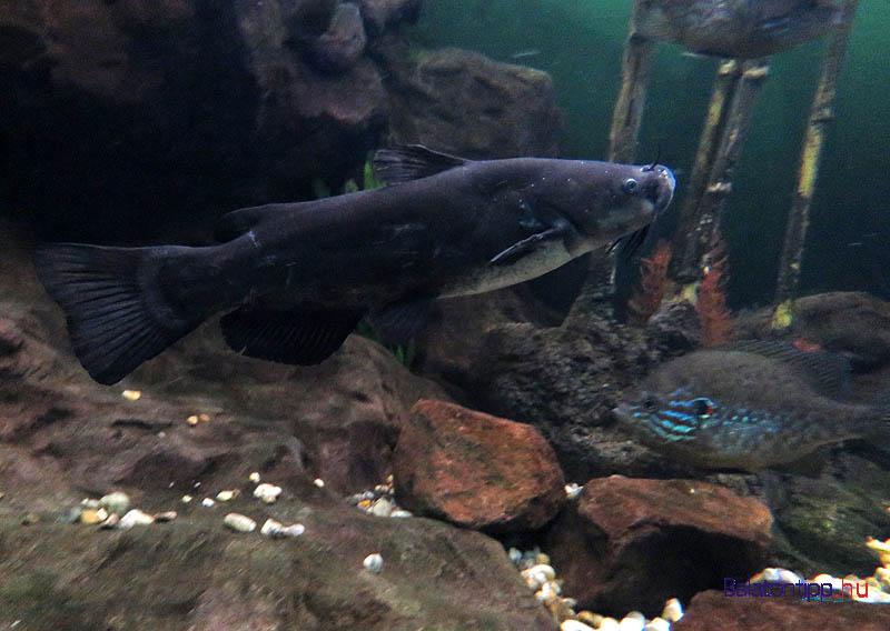 A fekete törpeharcsa és a naphal békésen megférnek egy akváriumban