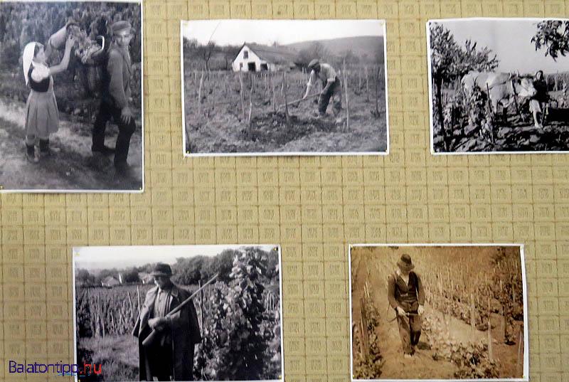 Szőlőművelés Balatonakaliban régi fotókon