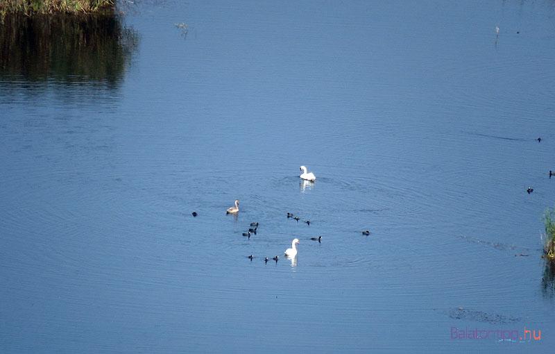 Hattyú-család a Külső-tón
