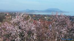 Virágzó mandulafák a Becehegy oldalában Balatongyörökön a tanúhegyekkel a háttérben - Fotó: Győrffy Árpád