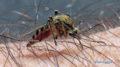 Vért szívó szúnyog
