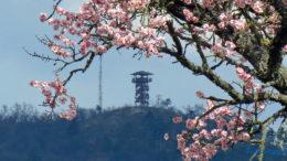 Virágzó mandulafa a háttérben a Batsányi-kilátóval Balatongyörökön